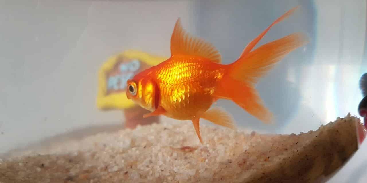 Prends-moi pour un poisson rouge !