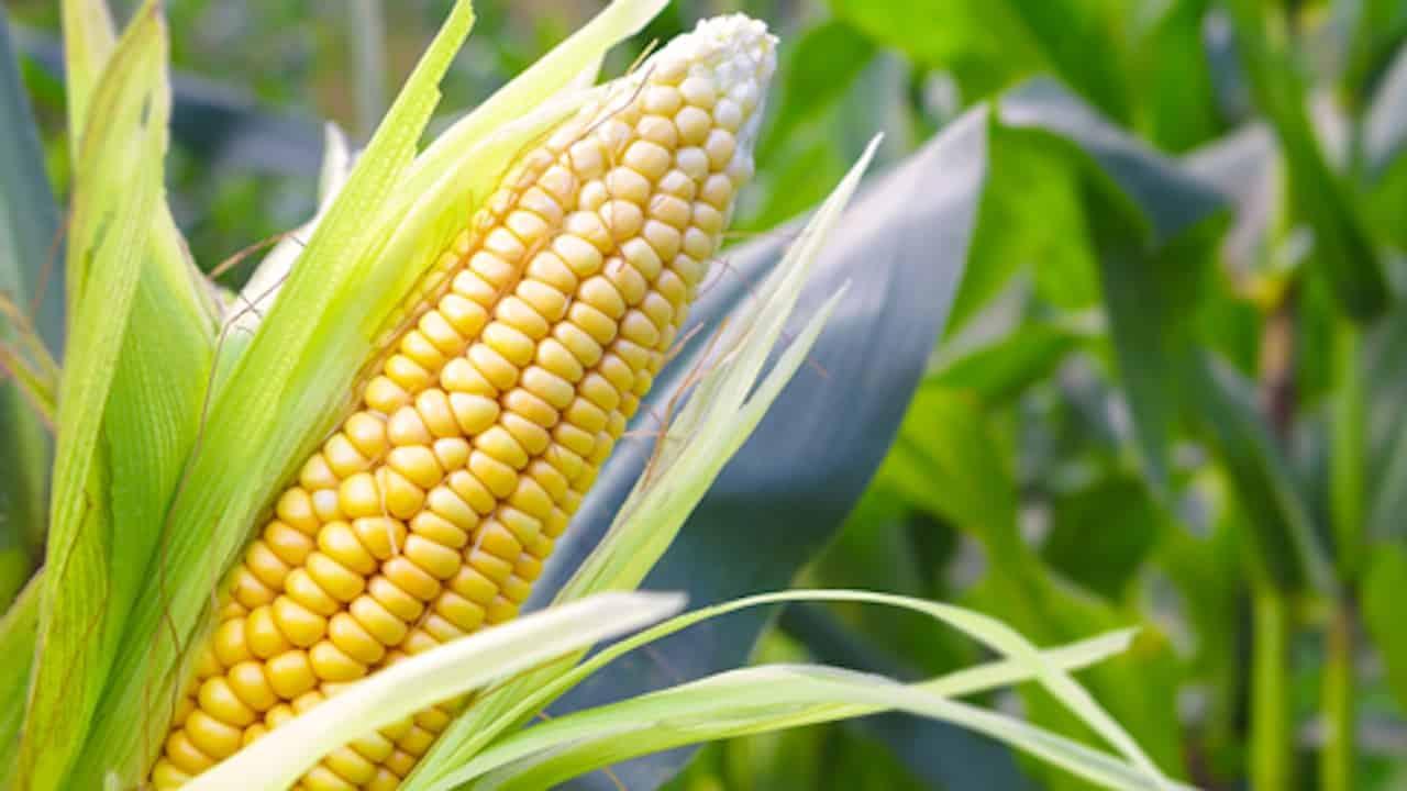 Du maïs au pop-corn social